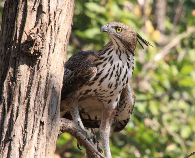 CHANGEABLE HAWK EAGLE INDIA
