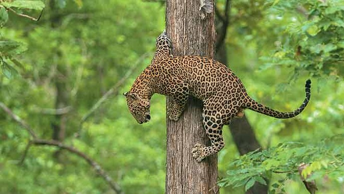 LEOPARD AT KABINI