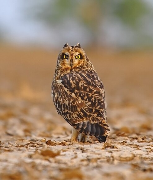 SHORT EARED OWL AT LITTLE RANN OF KUTCH
