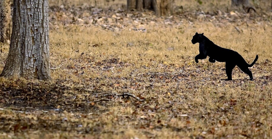 Elusive Black Panther of Kabini